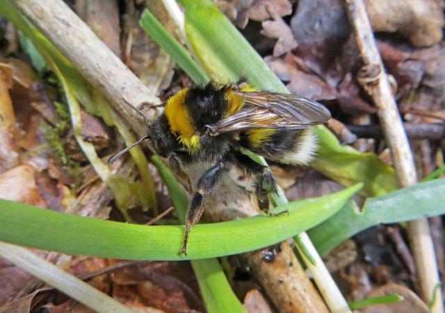 Bombus hortorum Garden bumblebee