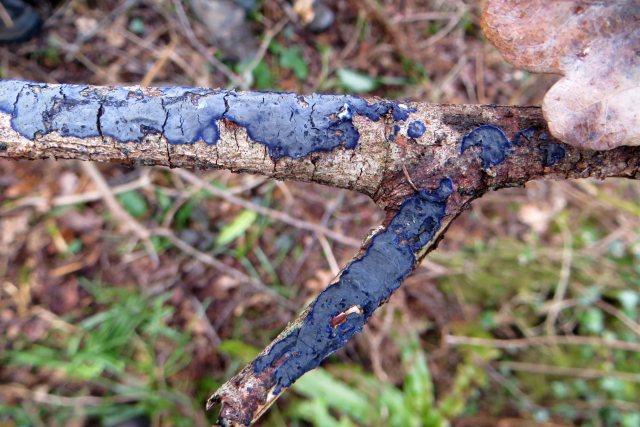 Cobalt crust Terana caerulea