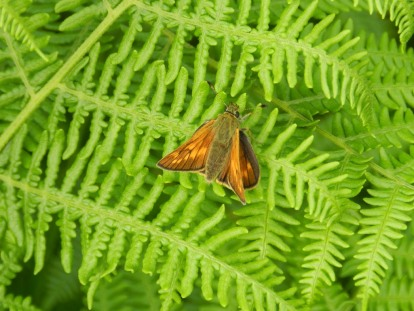 Large Skipper, Adam Rowe