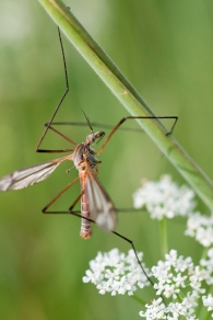 Cranefly, Chris Lawrence