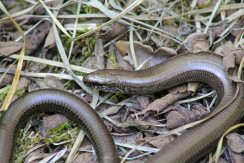 Sloe Worm (image by Annie Irving)