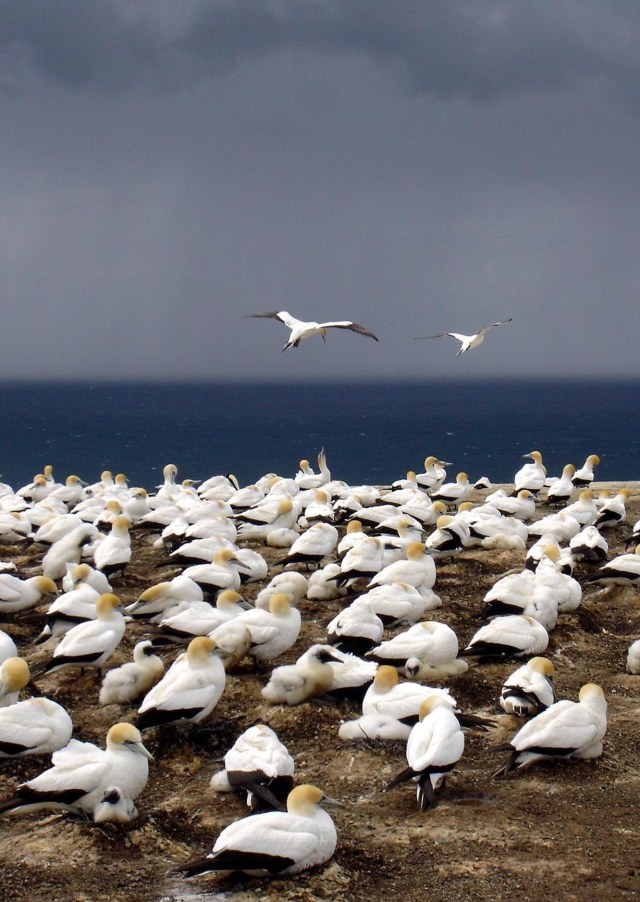 gannets-cape-kidnappers-3