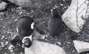 African penguin, intrigued by Mary's photography