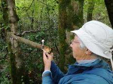 Porcelain Fungus (Oudemansiella mucida) found by Linda Nottage
